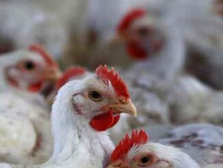 It is safe to eat cooked chicken and eggs, the central government said to remove the ban on bird flu