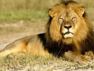 12-year-old Asiatic lion dies of corona, Zoological Park has also lost a lioness in the past